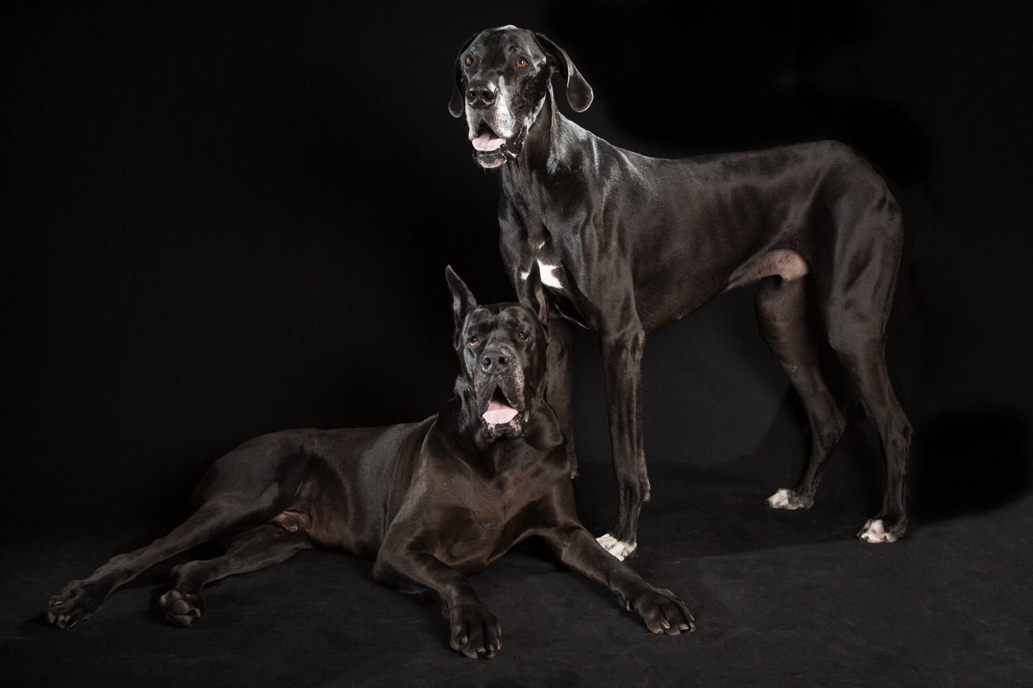 Fred Levy Photographer Photo Friday Great Danes