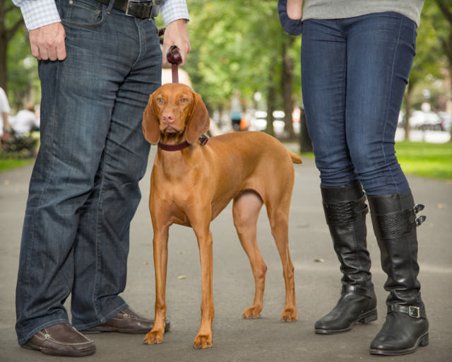 Mada the Vizsla in Boston
