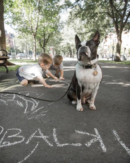 Balki the Boston Terrier