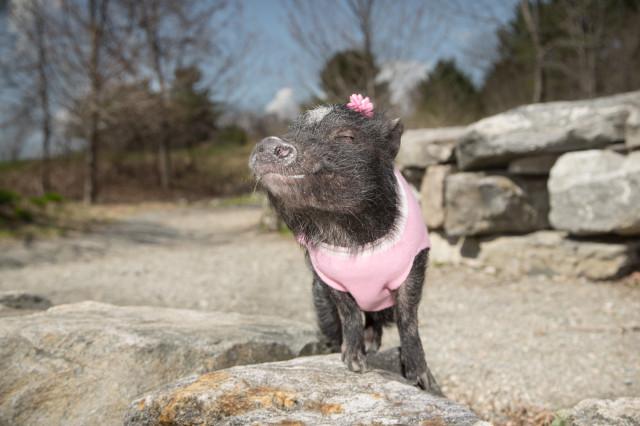 Pig in Pink