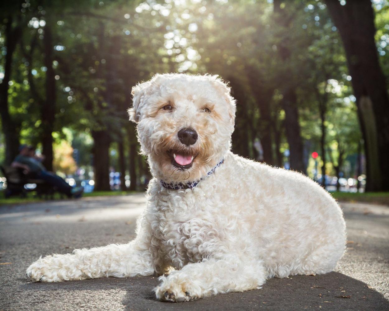 Boston, pet photography, wheaten terrier, Back Bay