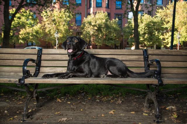 black lab, pet portrait, pet photography, Boston, Newbury St, Back Bay