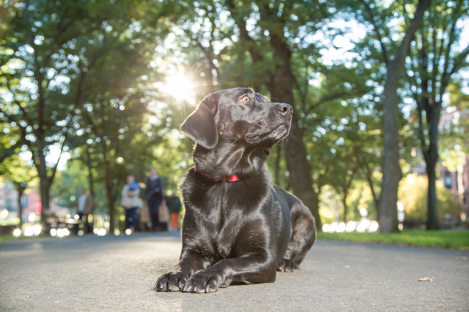 black lab, pet portrait, pet photography, Boston, Newbury St, Back Bay