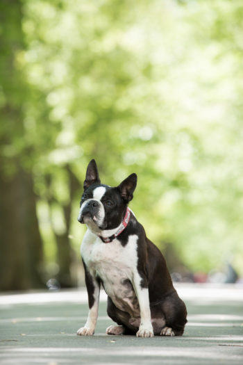 Fred-Levy-Pawsh-Balki-Boston-Terrier-1