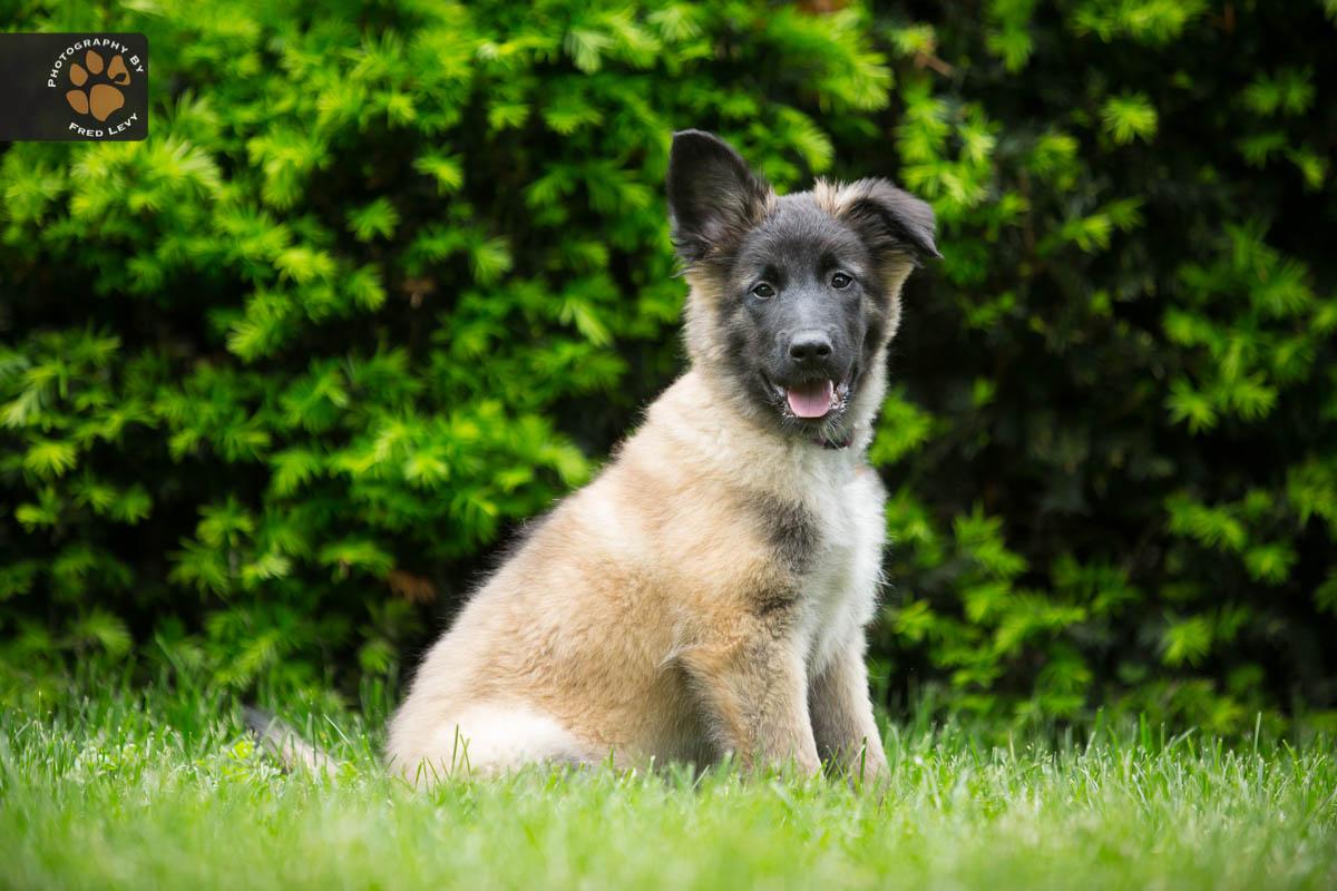 Belgian Tervuren puppy