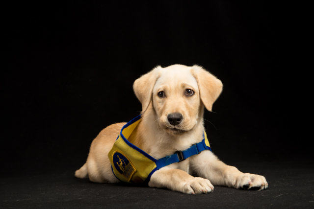 puppy labrador service dog in training