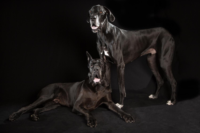 Black Dogs, Great Danes