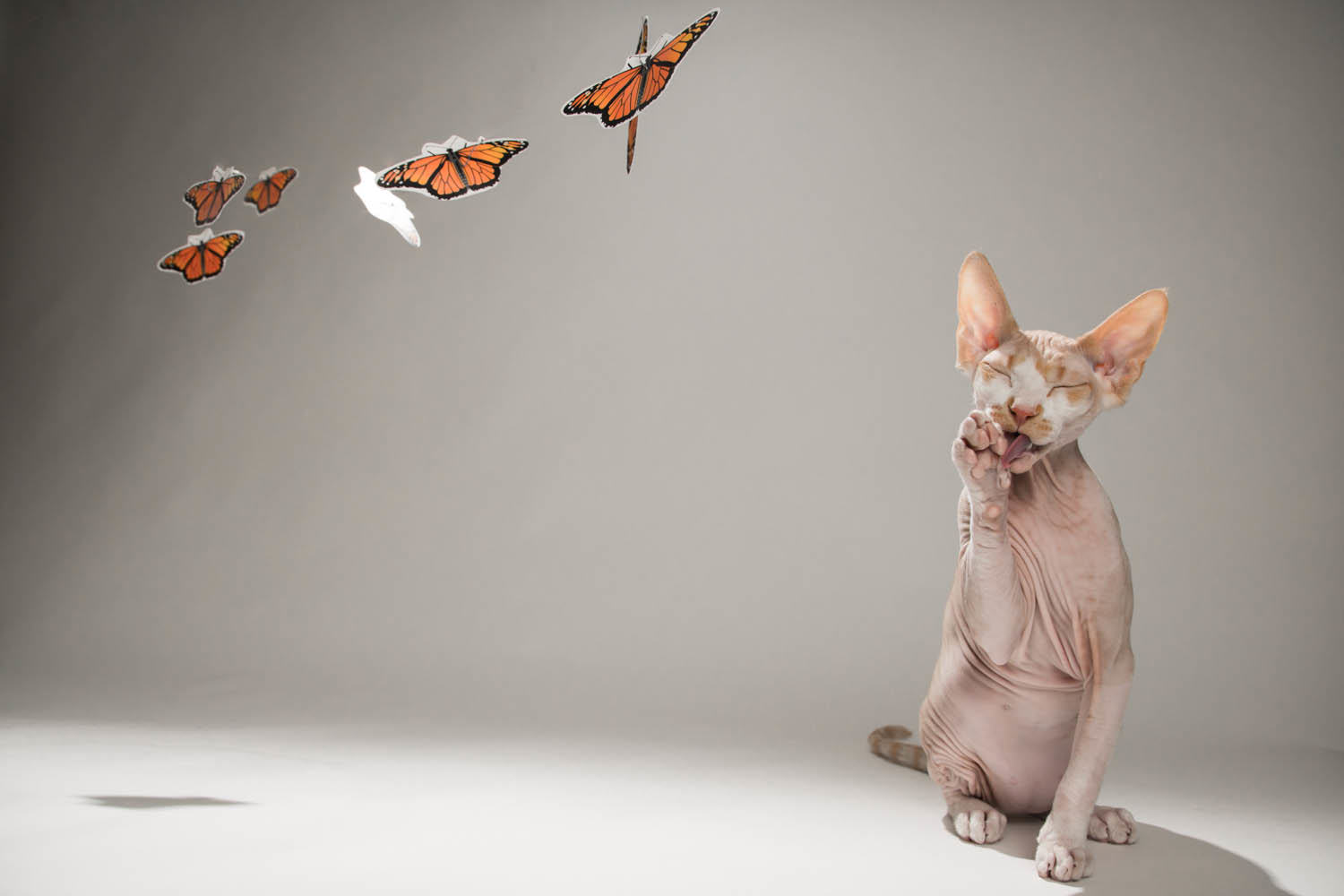 hairless cat, sphynx, cat, studio