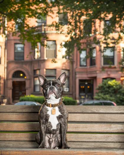 Spencer French Bulldog