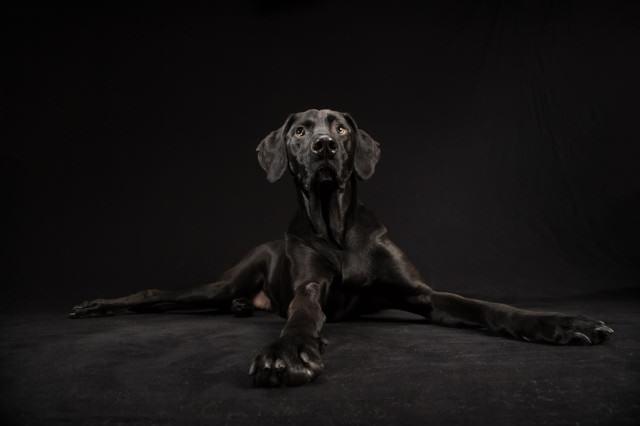 Posey Black dog at the studio
