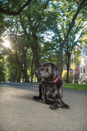 black lab, pet portrait, pet photography, Boston