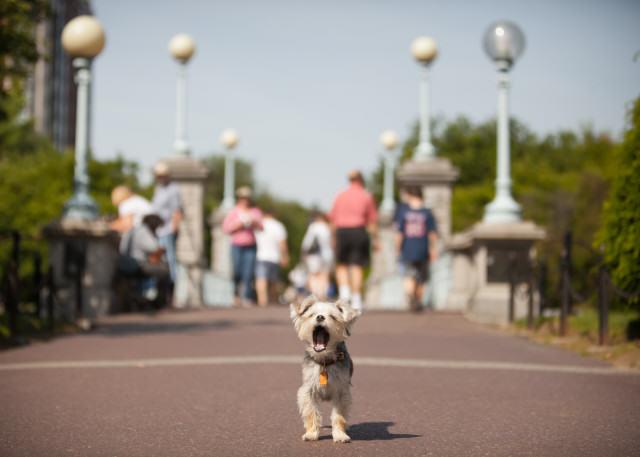 Cheech - Yorkie Terrier Boston Public Gardens