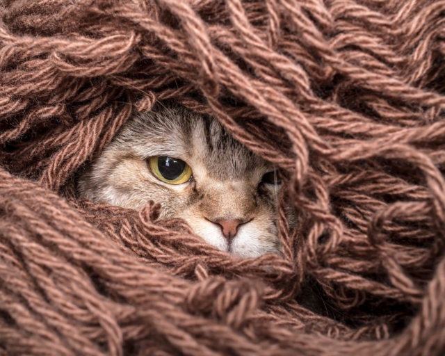 funny cat is preparing for the cold autumn and winter, wrapped up and hide in the pile thread woolen yarn at home
