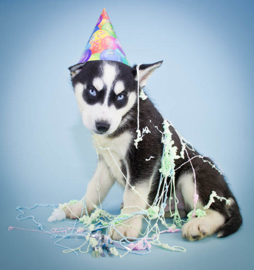 A very cute Husky puppy wearing a Birthday hat with silly string all over him, with a sweet look on his face.