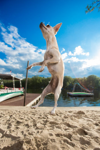 Chihuahua-jumps-Fred-levy-photo