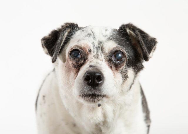 old rat terrier